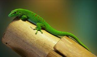 Gecko von Andreas Vöge