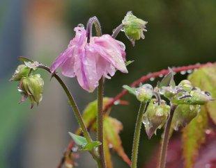 Akelei aufgehende Blüten von RüdigerLinse