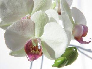 Orchidee von Petra S
