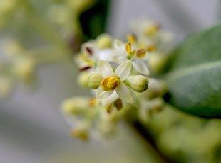 Olivenbaumblüte von pic