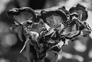 Rose von photowalker
