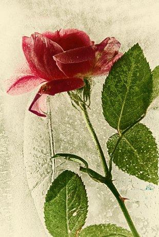 Rose im Eis II von Didjeh