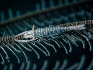 Federsterngarnele von latediver