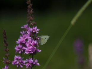Schmetterling von Harry Dona