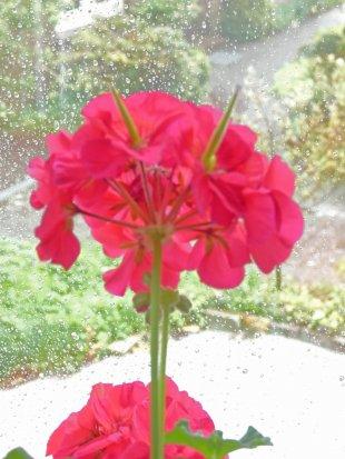 Geranie vor Regenfenster von vicia-faba