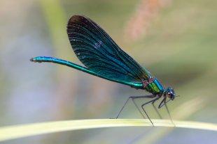 Blauflügel-Prachtlibelle von docolli