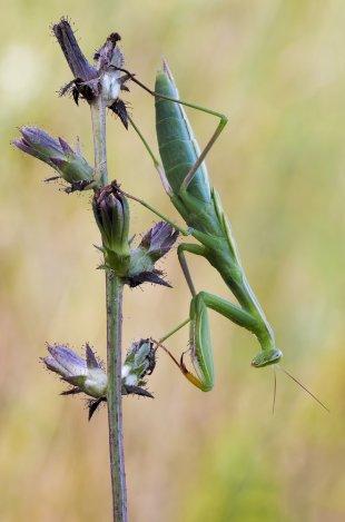 Junge Mantis von Helmi2010