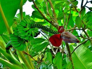 Bananenstaude mit Blüte von RüdigerLinse