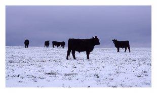 Galloway-Rinder von pewebe