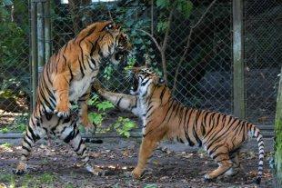 Sibirische Tiger 3 von H-W W