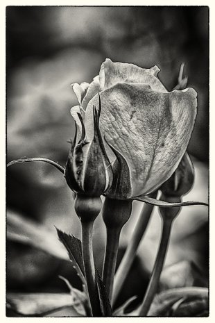weiße Rose im Garten . . . . . von Bernd Seibel