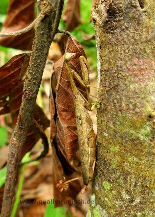 Perfekte Tarnung im trockenen Laub - Gottesanbeterin, Hoplocorypha von Quallytropisch