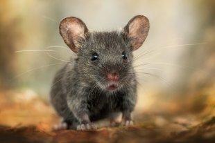 Baby Maus von nikkonwolf