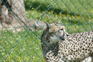 Geparden auf dem Possen von Sigs3