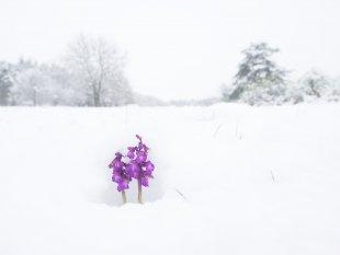 Kleine Knabenkräuter im Schnee von FelixW80