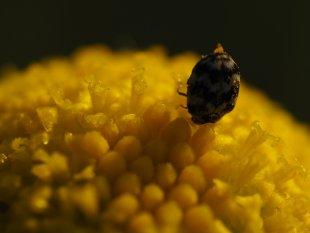 1/2 mm auf der Kammillenblüte von muellermi