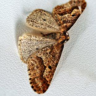 Großer Frostspanner (Erannis defoliara) von Eberhard  Schmidt-Dranske