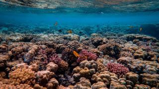 Meeresbiologen entwickeln Rettungsmethode für geschädigte Korallen