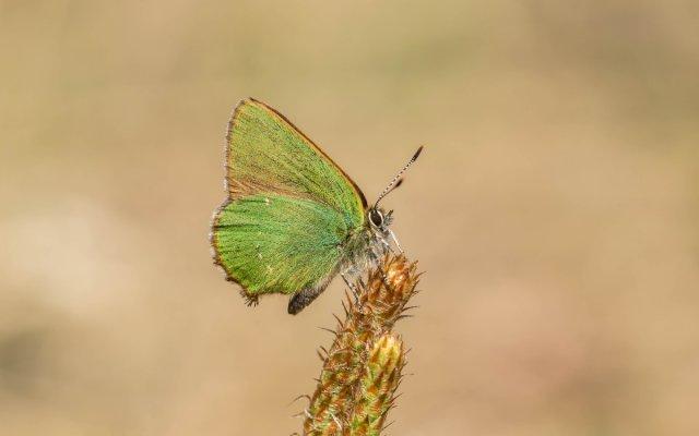 Grüner Zipfelfalter von Ruhrradler