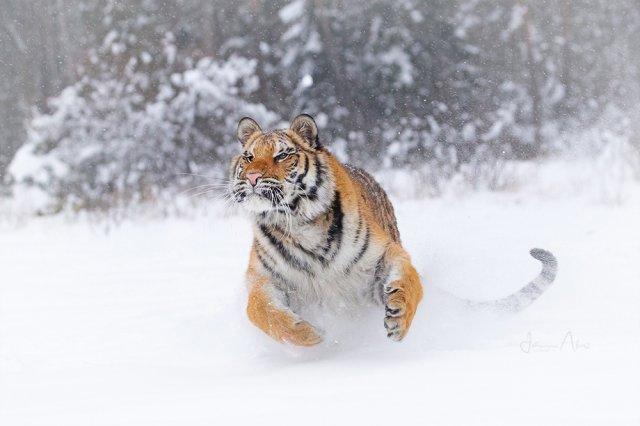 Sibirischer Tiger von Johanna A.