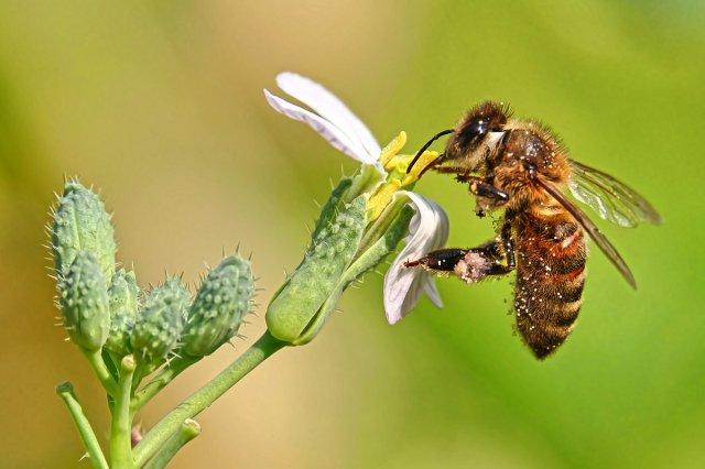 Biene bei der Arbeit .. von WolfSta56