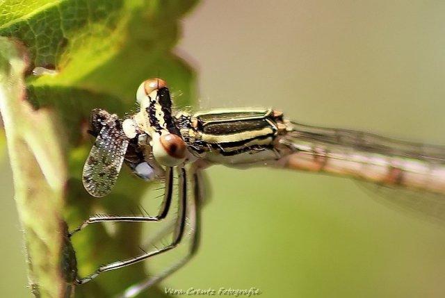 Libelle von Vera Creutz Fotografie