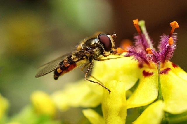 Die Schwebfliegen (Syrphidae) von Heike Schau