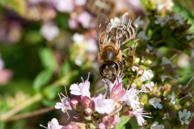 Biene auf Oregano-Blüte von Poschi-Bär