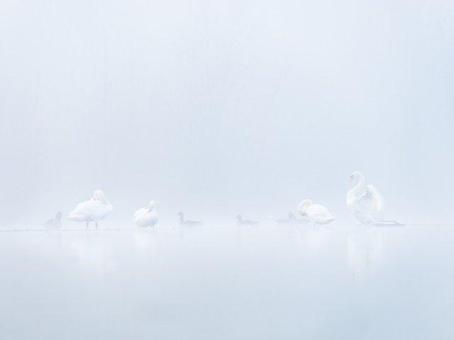 Schwäne im Nebel von FelixW80
