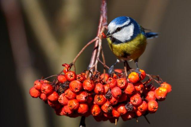 Vogel auf Beere von analoochjehtooch