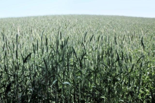 Getreidehügel von Reiner von der Schlei