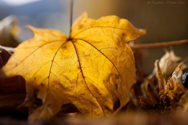 Herbst in Gold von H.-Dieter Fischer