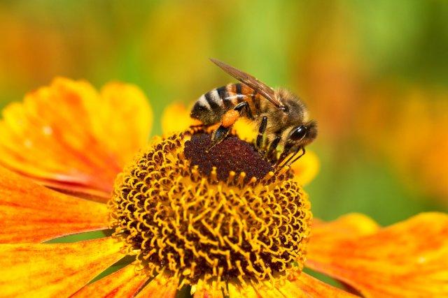 Nur ein Bienchen von Tolik
