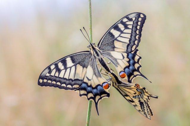 Schwalbenschwanz Kopula von abin