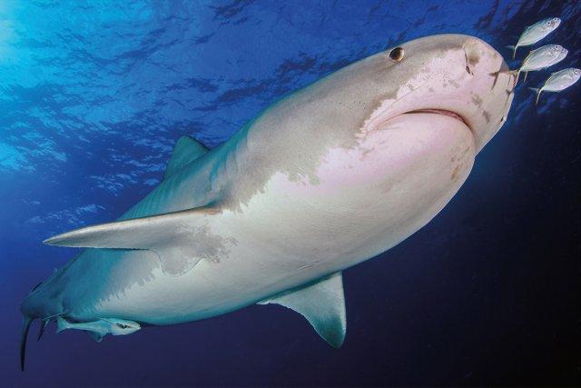 Tigerhai mit Pilotfischen von fritzbits