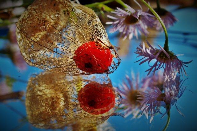 Lampionblume  3 von Heike Schau