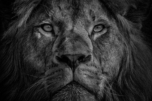 König der Tiere von achroman
