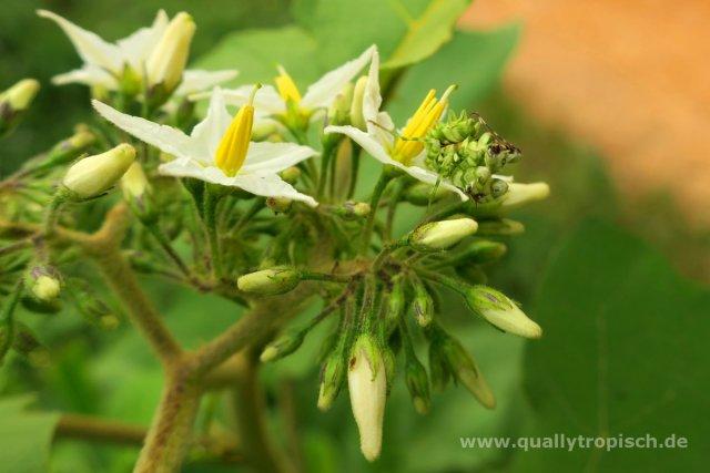 Auf der Lauer an der Blüte - Afrikanische Blütenmantis, Pseudocreobotra wahlbergii von Quallytropisch
