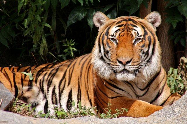 Tiger von Heike Maier