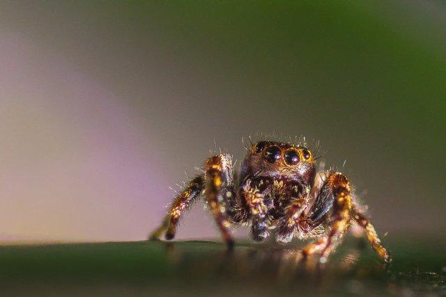 Spinne von Daborius