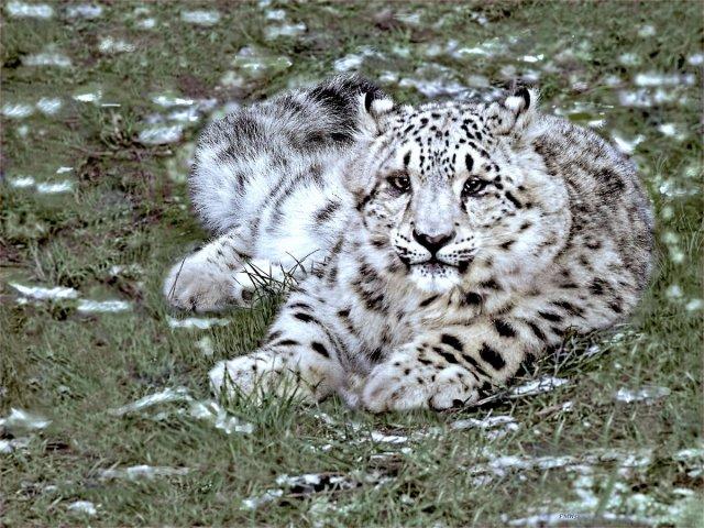 Snow Leopard's Baby von FMW51