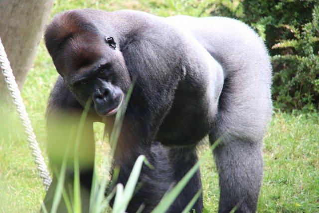 Gorilla im Zoologischen Garten von Karl Schulze