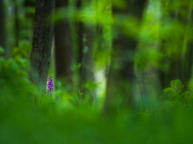 Stattliches Knabenkraut im Wald von FelixW80