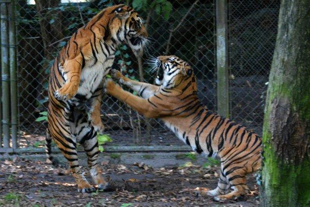 Sibirische Tiger 2 von H-W W