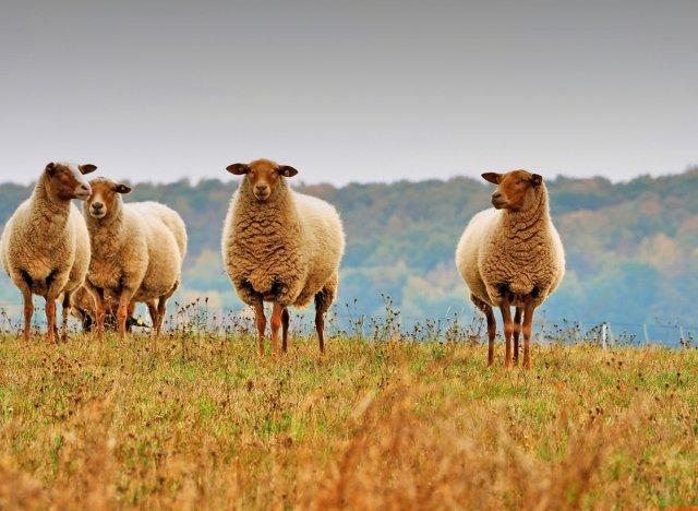 Die Wollelieferanten von Eberhard  Schmidt-Dranske