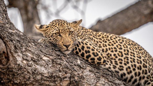leopard von Dr.Schall