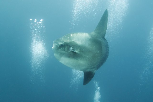 Mola Mola von Mike R