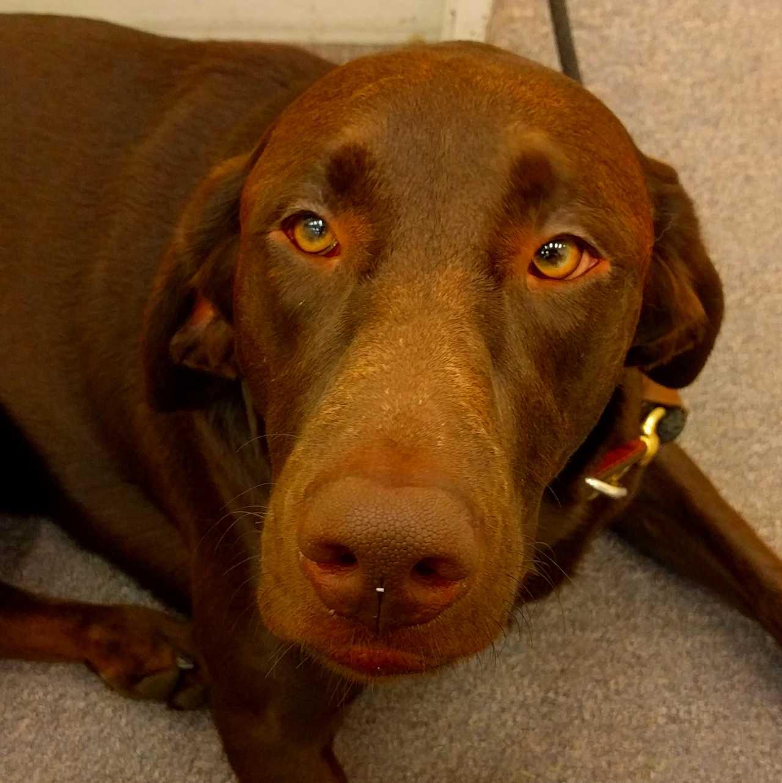 Kopf eines braunen Hundes