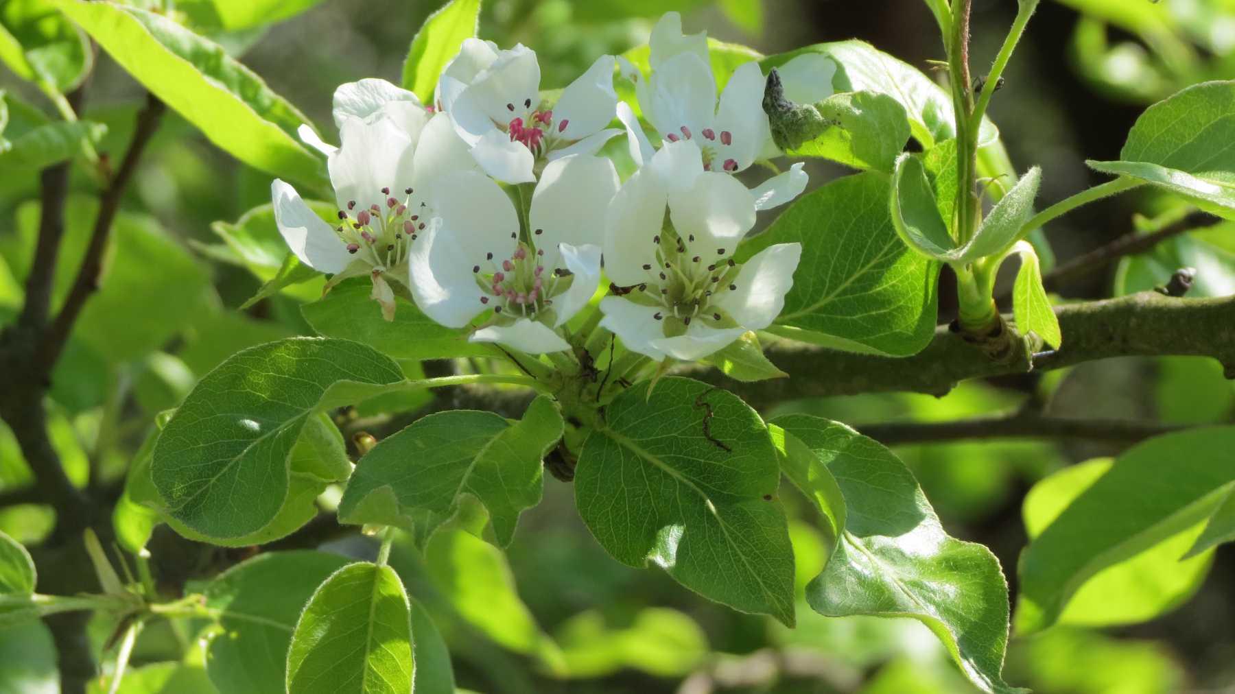 Apfekblüten