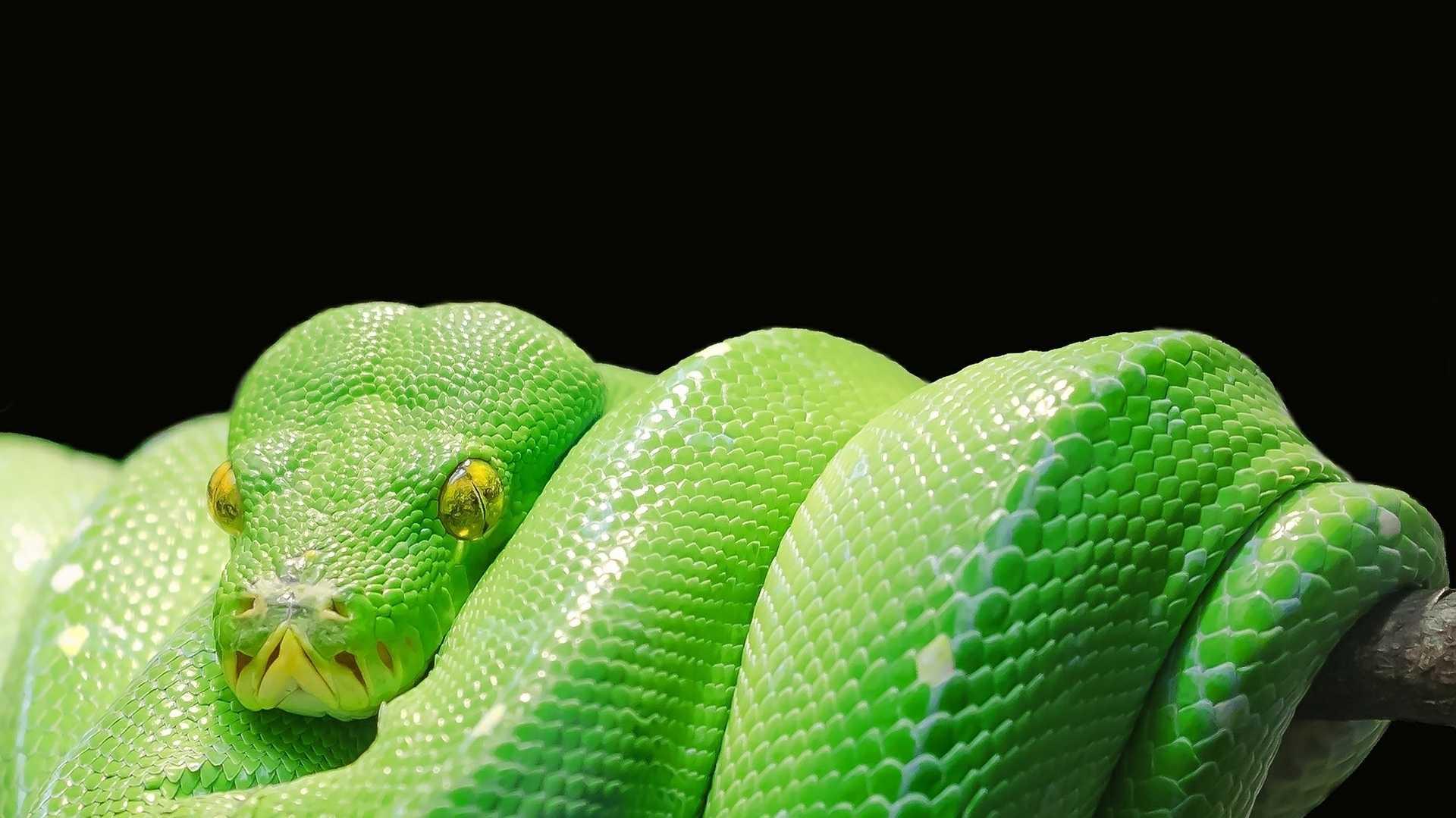 Schlange, Python, Paradies